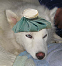 Close-up of beautiful white dog looking sick with a blue hot water bottle on his head